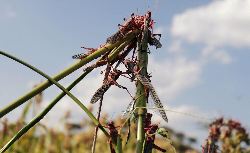 L'invasione di locuste in Etiopia.