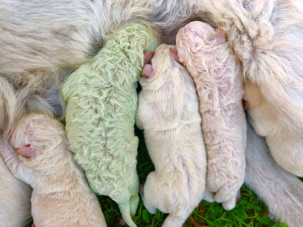 Pistacchio, il cucciolo di Labrador nato di colore verde, Sardegna, 9 ottobre 2020.