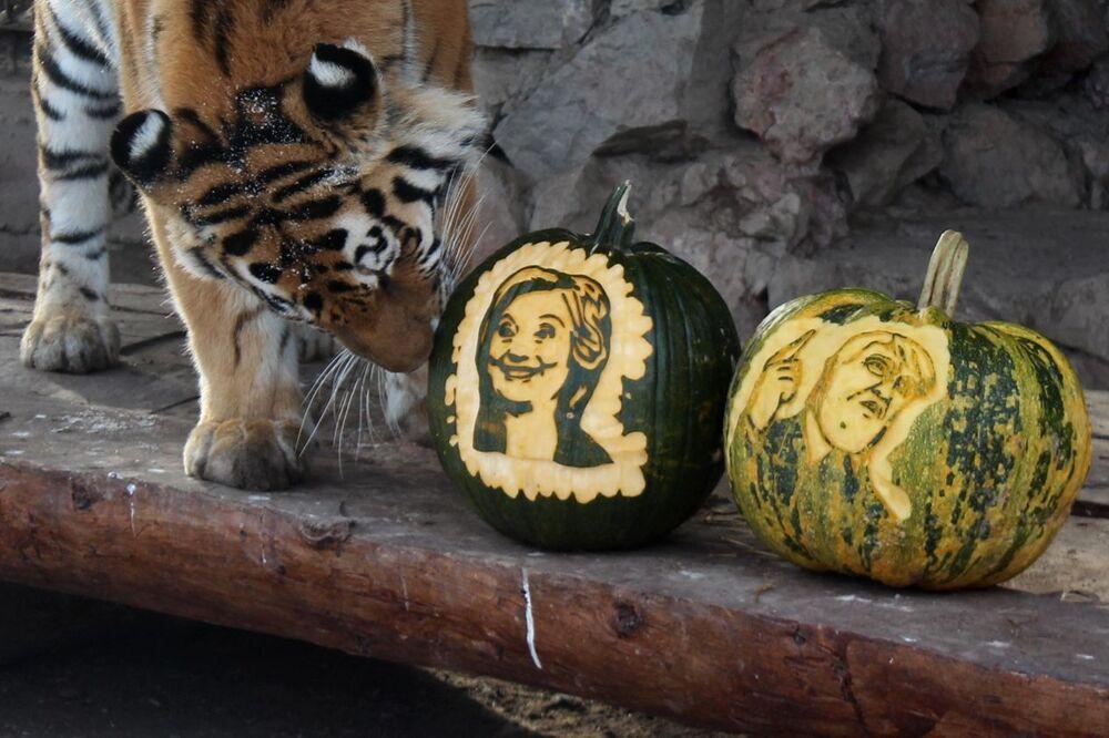 La tigre siberiana Giunone con le zucche con le immagini dei candidati alla presidenza degli Stati Uniti Hillary Clinton e Donald Trump, zoo Royev Ruchey, Krasnoyarsk, Russia.