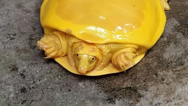 Today a Yellow Turtle was rescued from a Pond in Burdwan,WB - Sputnik Italia
