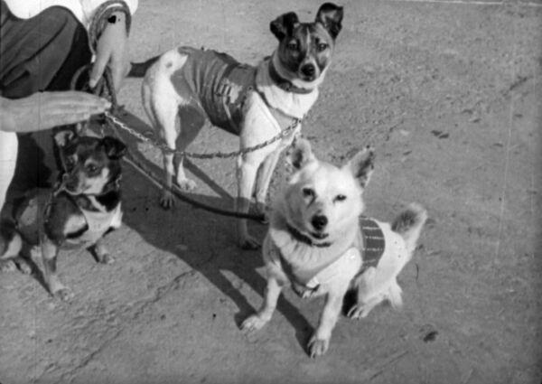 Laika è stata scelta tra 5 o 6 candidati. Era un cane adulto di circa tre anni, pesava circa sei chili ed era randagia, è stata infatti presa in una strada di Mosca - Sputnik Italia