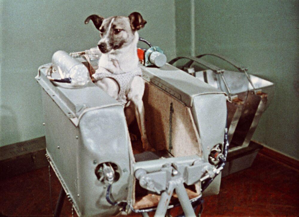 Laika, così come gli altri cani 'selezionati', è stata abituata a restare in una capsula pressurizzata di 80 centimetri