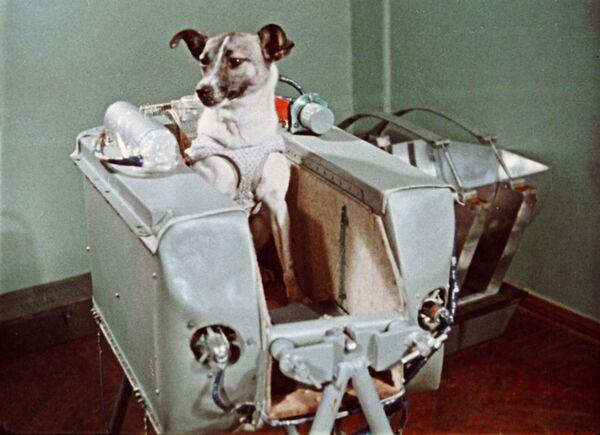 Laika, così come gli altri cani 'selezionati', è stata abituata a restare in una capsula pressurizzata di 80 centimetri  - Sputnik Italia