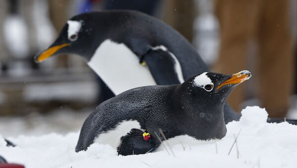 A Gentoo penguins in the snow at the Pittsburgh Zoo and PPG Aquarium during a media availability in an outdoors area on Wednesday, Feb. 10, 2016, in Pittsburgh. (AP Photo/Keith Srakocic) - Sputnik Italia