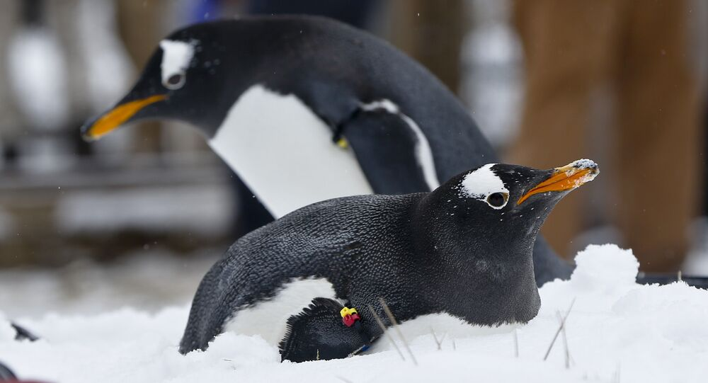 A Gentoo penguins in the snow at the Pittsburgh Zoo and PPG Aquarium during a media availability in an outdoors area on Wednesday, Feb. 10, 2016, in Pittsburgh. (AP Photo/Keith Srakocic)