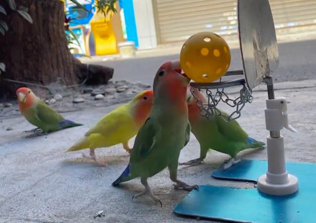 Pappagalli giocano con la palla