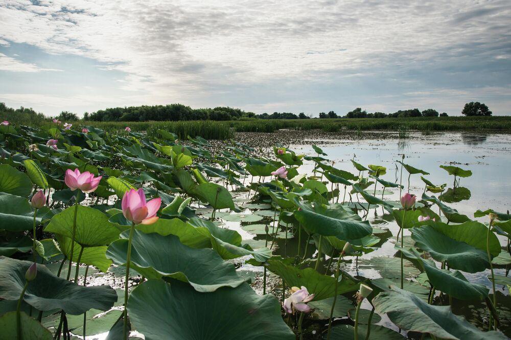 Fioritura di loto nel delta del Volga, Russia.