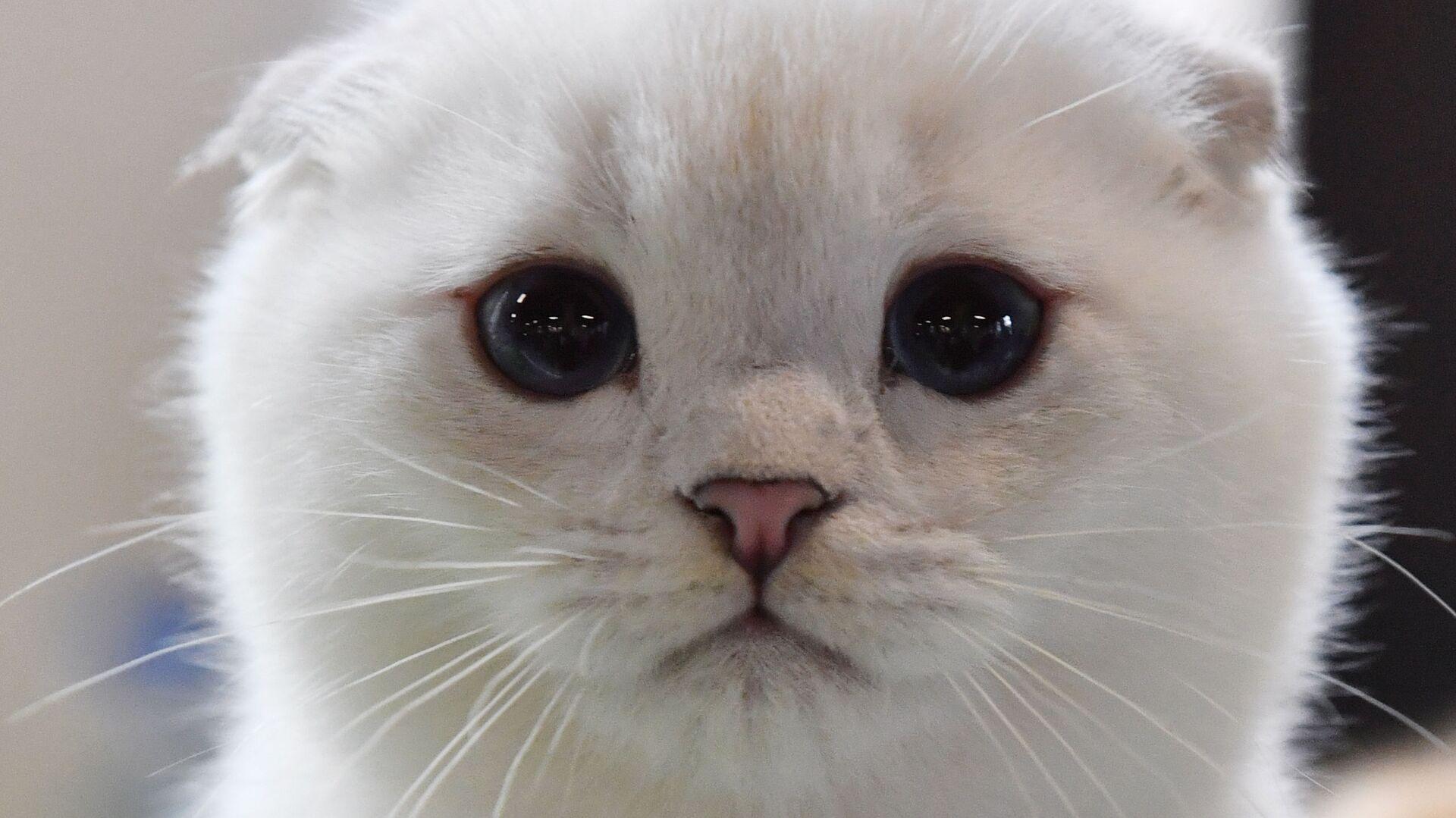 Котенок породы скоттиш-фолд (шотландская вислоухая) на выставке КоШарики-Шоу в Москве - Sputnik Italia, 1920, 14.04.2021