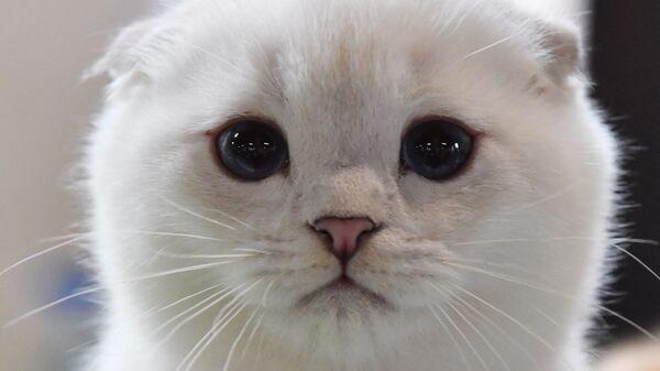 Котенок породы скоттиш-фолд (шотландская вислоухая) на выставке КоШарики-Шоу в Москве - Sputnik Italia