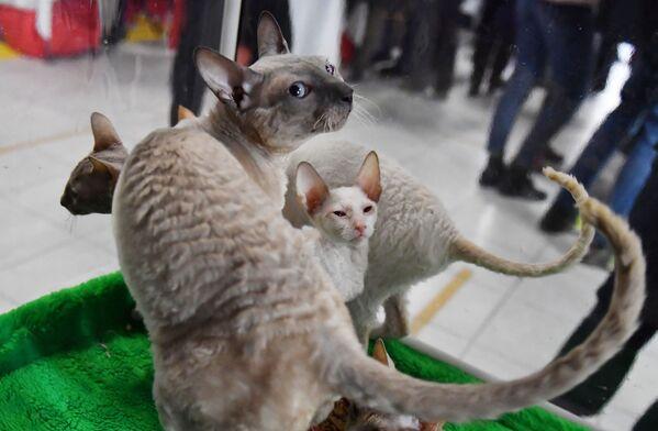 I gatti di razza Cornish Rex presentati nel corso della mostra di gatti KoShariki Show svoltasi a Mosca.  - Sputnik Italia