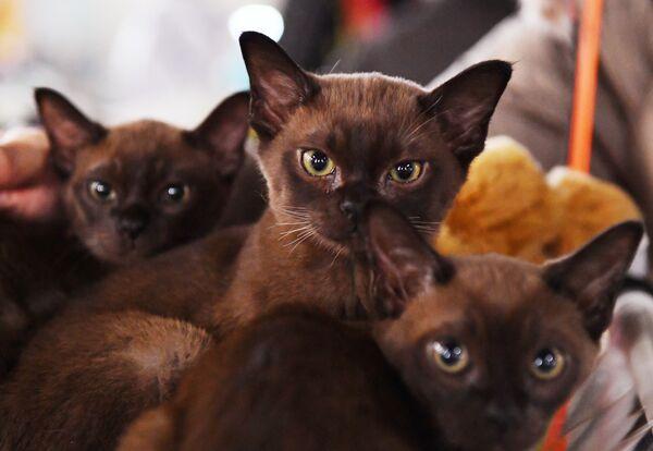 I gatti di razza burmese presentati nel corso della mostra di gatti KoShariki Show svoltasi a Mosca.  - Sputnik Italia