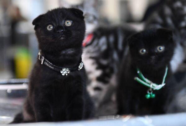 I gatti di razza Scottish Fold presentati nel corso della mostra di gatti KoShariki Show svoltasi a Mosca.   - Sputnik Italia