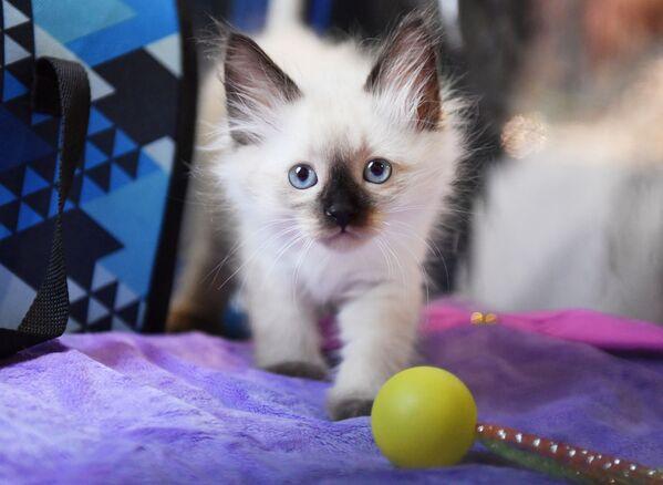 Un gattino siberiano presentato nel corso della mostra di gatti KoShariki Show svoltasi a Mosca.  - Sputnik Italia