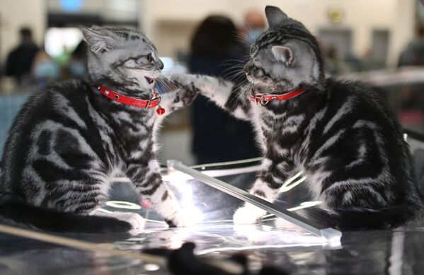 I gatti di razza scottish straight presentati nel corso della mostra di gatti KoShariki Show svoltasi a Mosca.   - Sputnik Italia