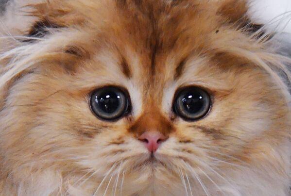 Un gattino di razza Scottish Fold presentato nel corso della mostra di gatti KoShariki Show svoltasi a Mosca.   - Sputnik Italia