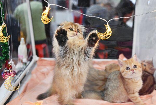 Un gattino gioca con un pendente nel corso della mostra di gatti KoShariki Show svoltasi a Mosca.   - Sputnik Italia