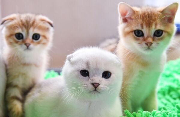 I gattini di razza scottish fold e scottish straight presentati nel corso della mostra di gatti KoShariki Show svoltasi a Mosca.   - Sputnik Italia