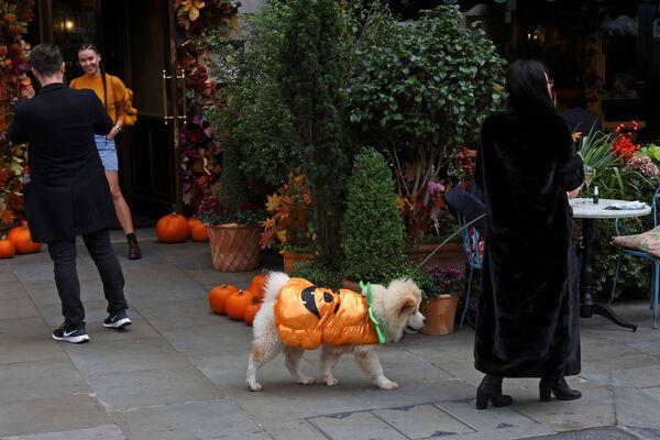Un cane vestito da zucca a Londra - Sputnik Italia
