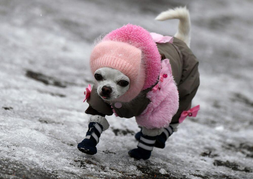 Un cane Chihuahua cammina su un marciapiede ghiacciato a Divnogorsk, Russia