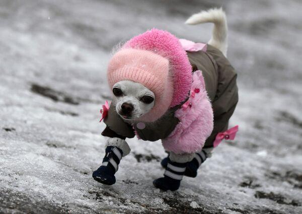 Un cane Chihuahua cammina su un marciapiede ghiacciato a Divnogorsk, Russia - Sputnik Italia