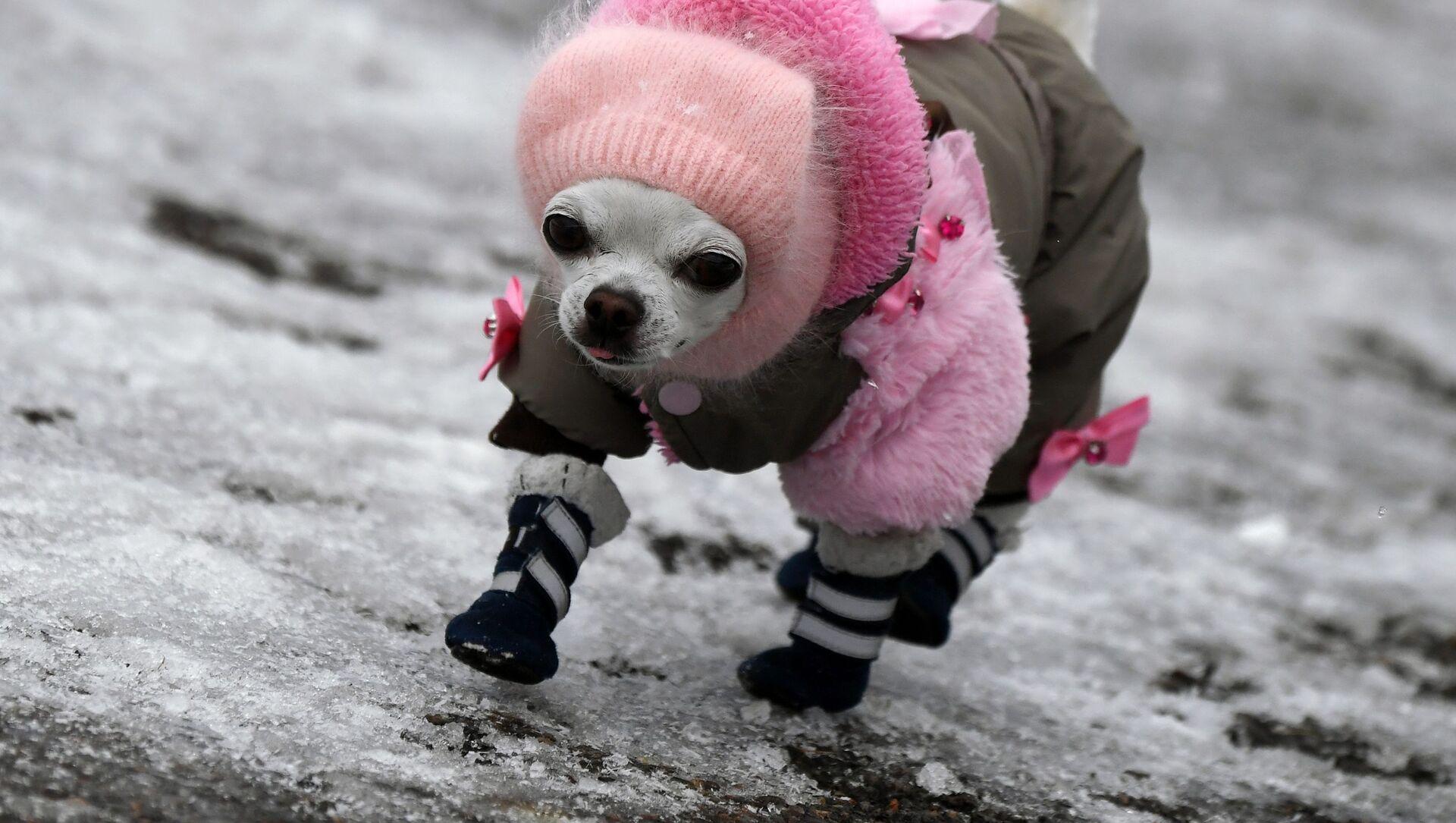 Собака породы чихуахуа гуляет по обледенелому тротуару в Дивногорске - Sputnik Italia, 1920, 12.04.2021