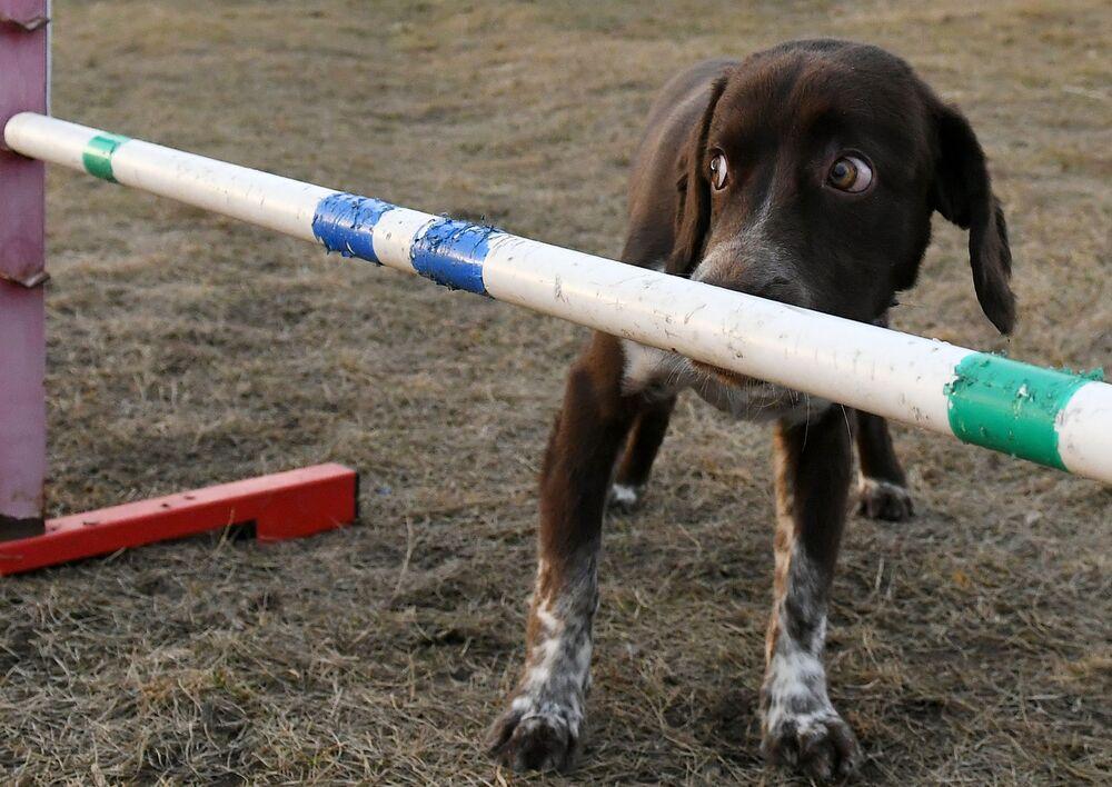 Un cane esegue il comando del proprietario durante una passeggiata a Krasnoyarsk, Russia