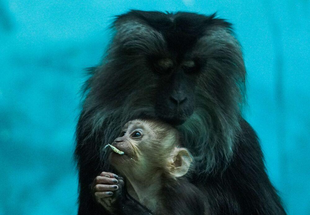 In seguito alla distruzione dell'habitat naturale del sileno, questa scimmia è in pericolo di estinzione.