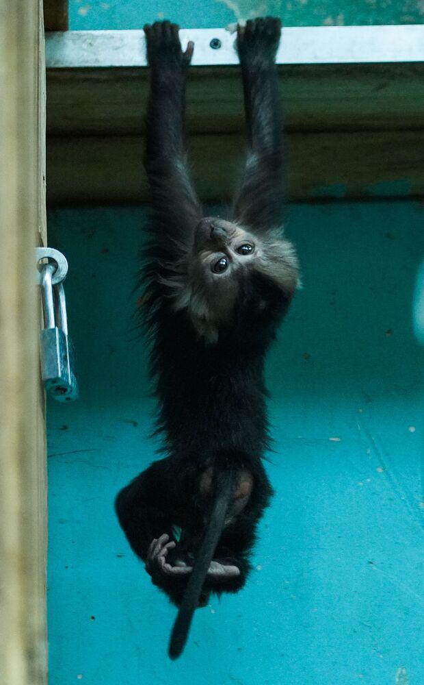 Un cucciolo di scimmia dalla barba bianca è nato allo zoo di Mosca