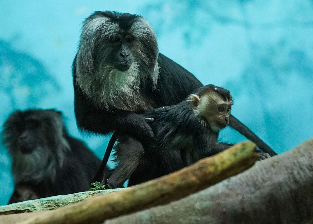 Una femmina di scimmia dalla barba bianca con un cucciolo in una gabbia a cielo aperto allo zoo di Mosca