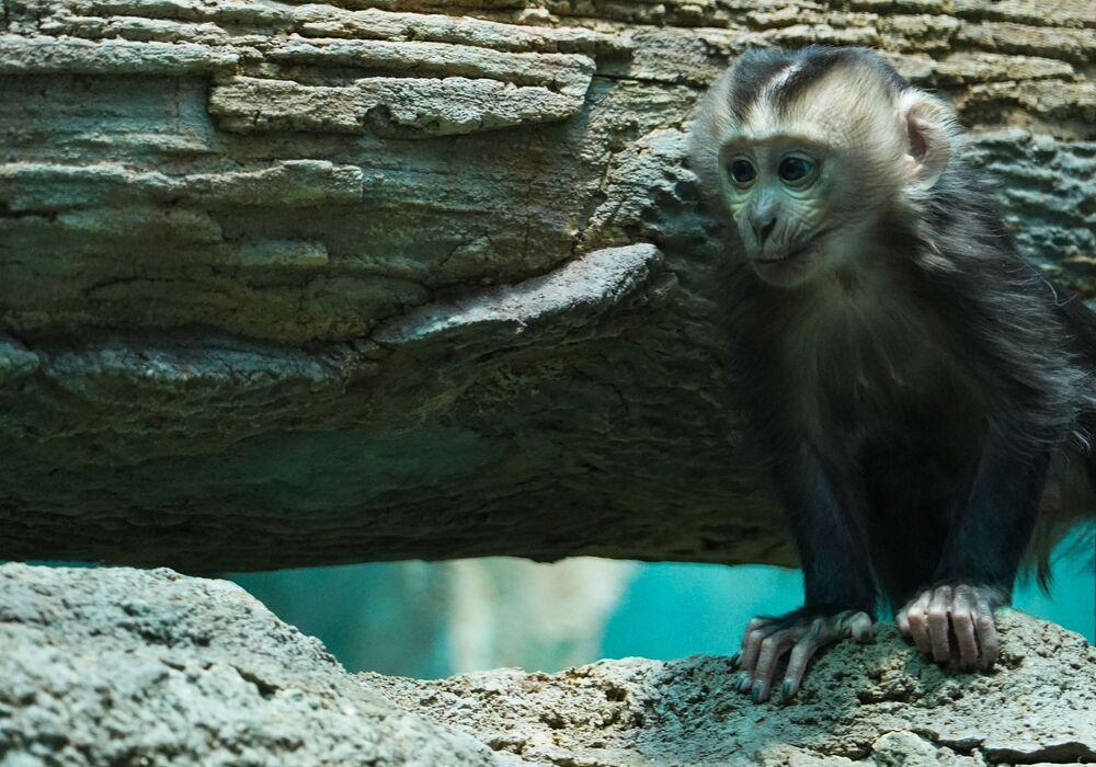 Cucciolo di scimmia dalla barba bianca allo zoo di Mosca, Russia