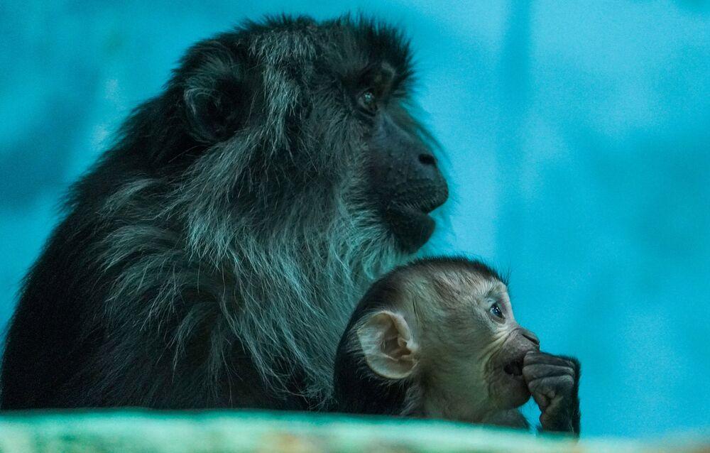 Il sileno è una specie di primate in pericolo di estinzione