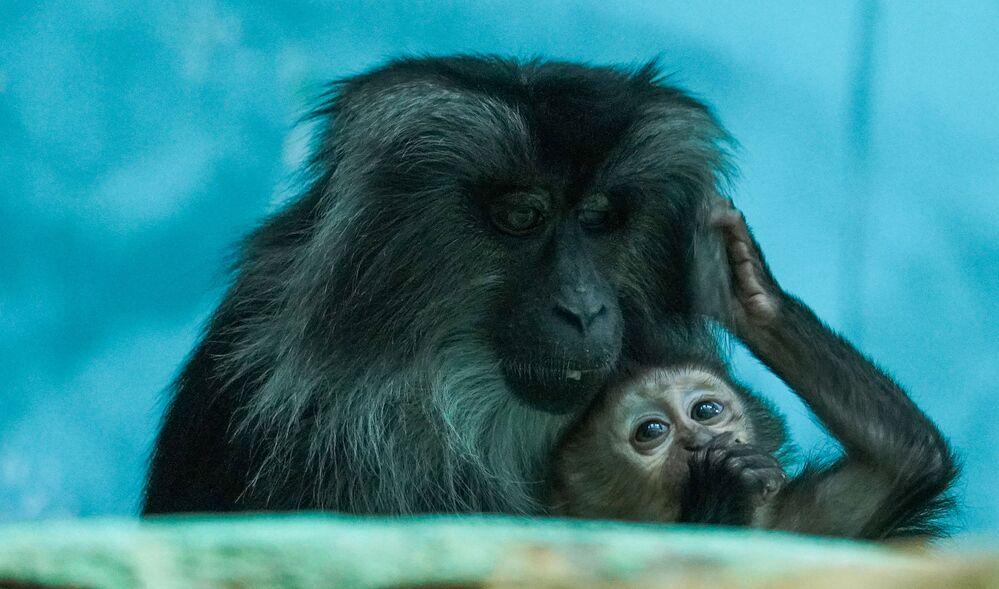 Alto tra i 40 e i 60 centimetri e con una coda lunga tra i 24 e i 38 centimetri, si tratta di una delle specie di scimmie più piccole