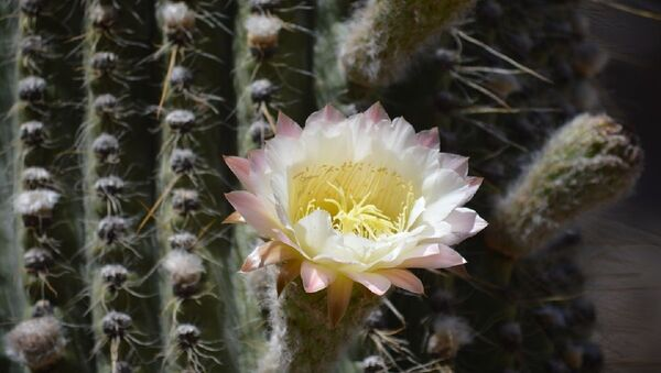 Un cactus - Sputnik Italia