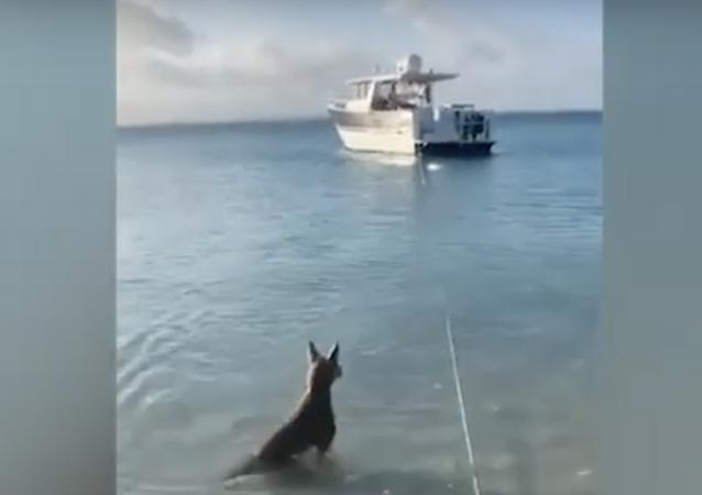 Un cane coraggioso si butta in mare per scacciare squalo