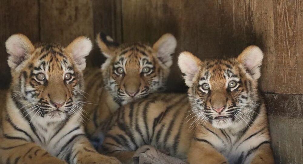 I cuccioli di tigre siberiana Krai, Zov, Alina al parco Natura Viva