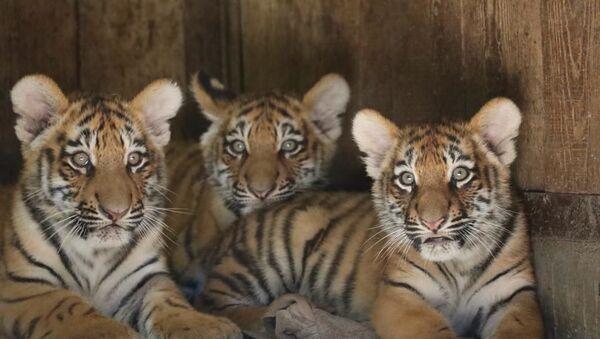 I cuccioli di tigre siberiana Krai, Zov, Alina al parco Natura Viva - Sputnik Italia