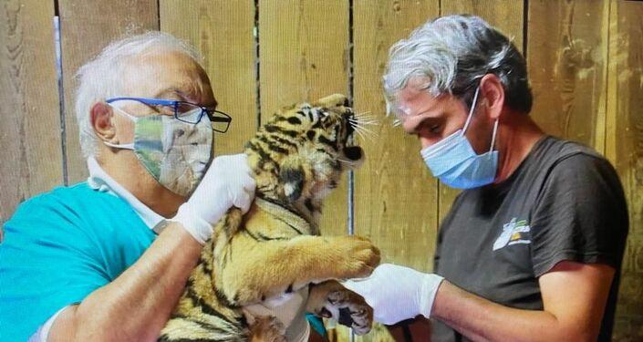 Un cucciolo di tigre siberiana esaminato dal medico