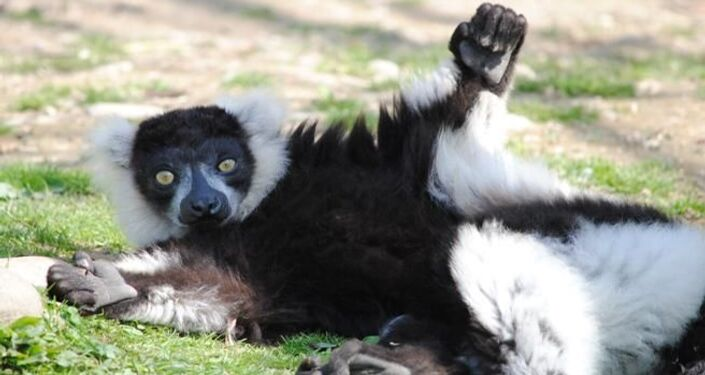 Lemure Silver al parco Natura Viva