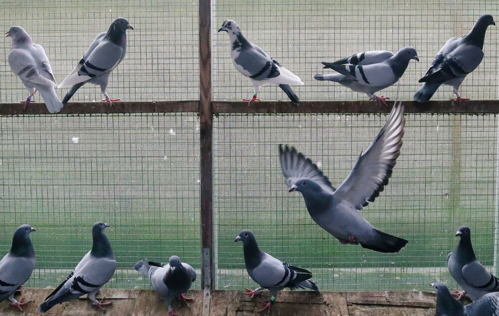 I piccioni presentati all'asta dei piccioni viaggiatori a Knesselare in Belgio, il 12 Novembre 2020.