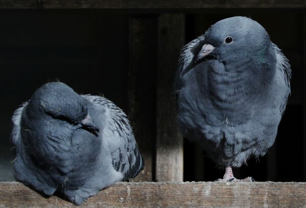I piccioni presentati all'asta dei piccioni viaggiatori a Knesselare in Belgio, il 12 Novembre 2020.  - Sputnik Italia