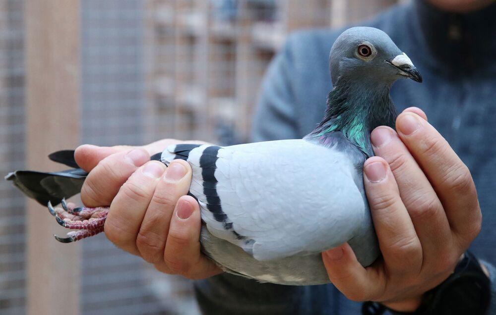 Il piccione New Kim presentato all'asta dei piccioni viaggiatori a Knesselare in Belgio, il 12 Novembre 2020.