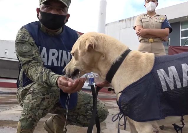 Labrador salvato da alluvione entra nella Marina messicana