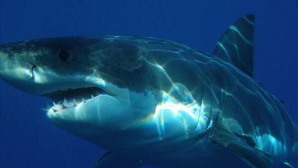 Un tiburón blanco (imagen referencial) - Sputnik Italia