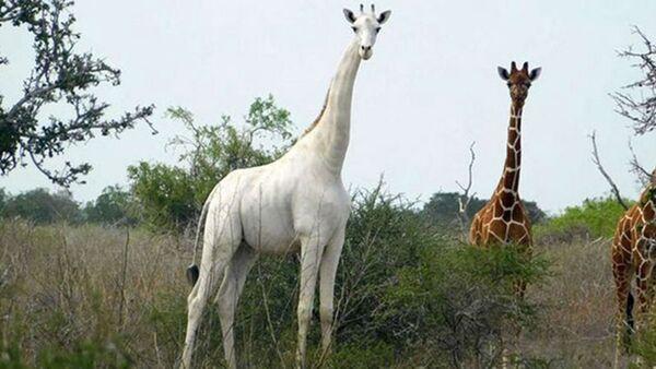 Esemplare di giraffa bianca unico al mondo dotato di tracker per scoraggiare i bracconieri - Sputnik Italia