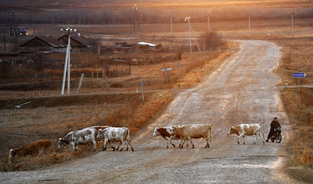 Un pastore in moto e le mucche che tornano dai pascoli della steppa vicino al villaggio di Saragash nella Repubblica di Chakassia, Russia.