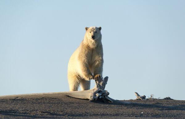 Orso polare sulla costa del Mare della Siberia orientale - Sputnik Italia