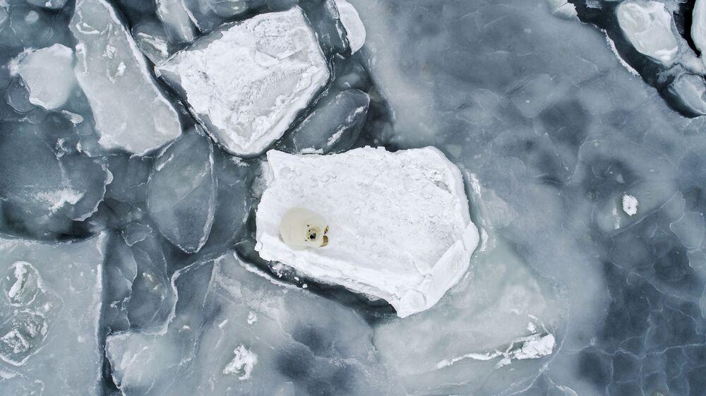 Orso polare su un lastrone di ghiaccio nel mare di Chukci