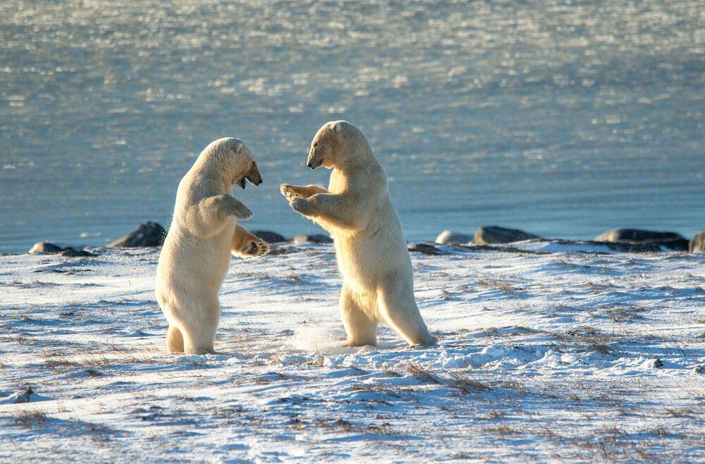 Gli orsi polari a Capo Kozhevnikov
