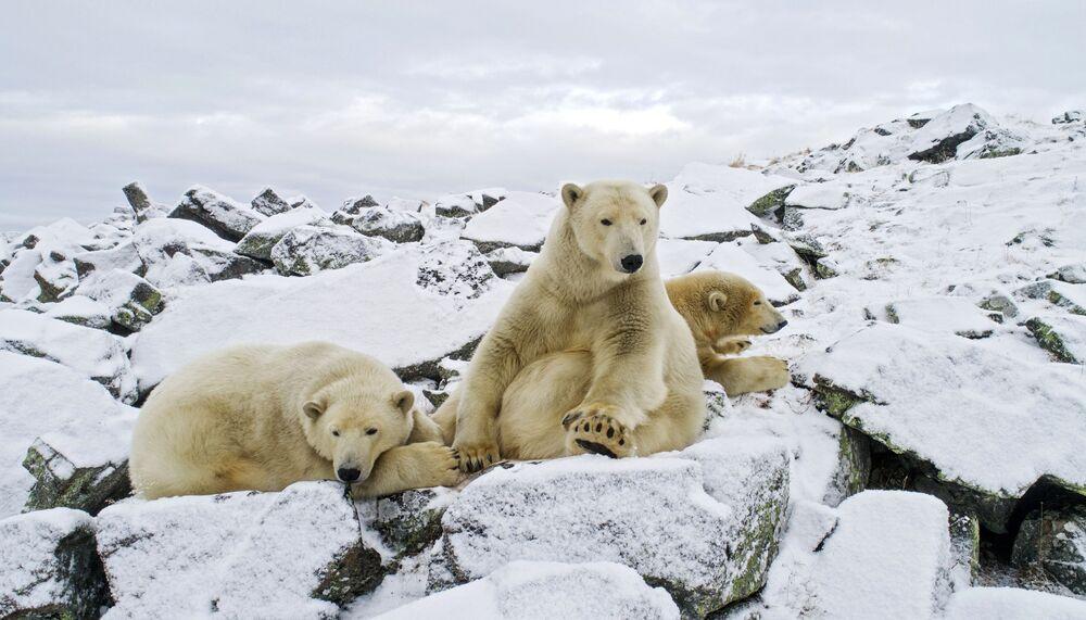 L'orso bianco è uno degli animali più pericolosi