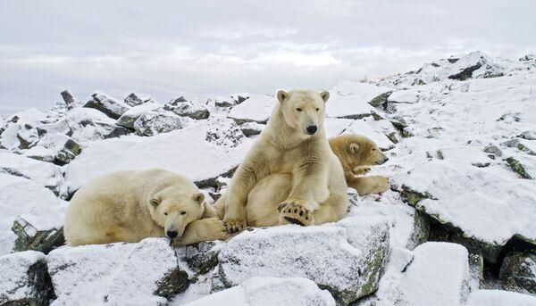 L'orso bianco è uno degli animali più pericolosi - Sputnik Italia